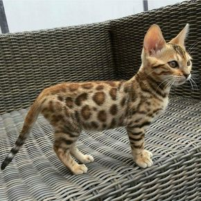 I can't tell whether or not this is a leopard cub. It's the size of a domestic cat, but it has almost the same colors of a leopard.