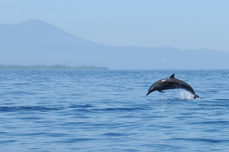 Dolphins & pilot where are a common site in the Bunaken Marine Park #siladen #indonesia