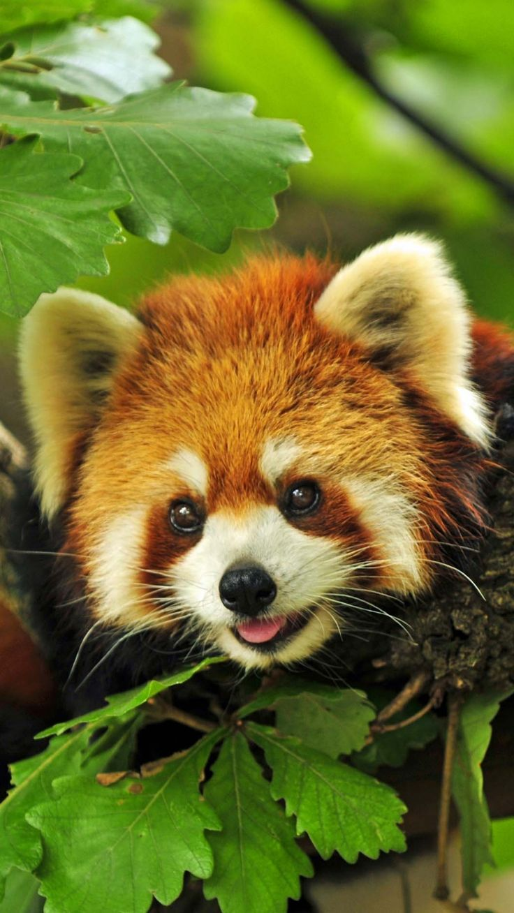 Red panda, grass, leaves, branches... Adorable!