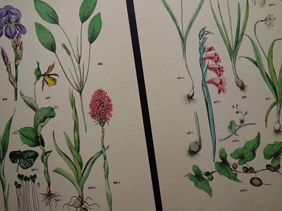 BOTANICAL print set of two matching old Botany prints Crocus