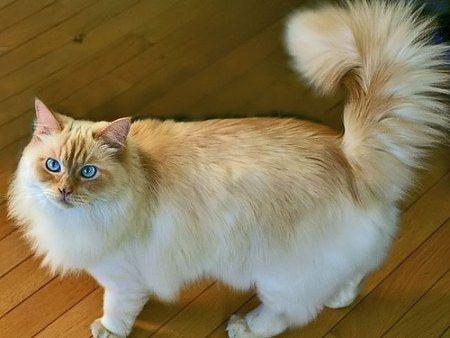 raggamuffin cat