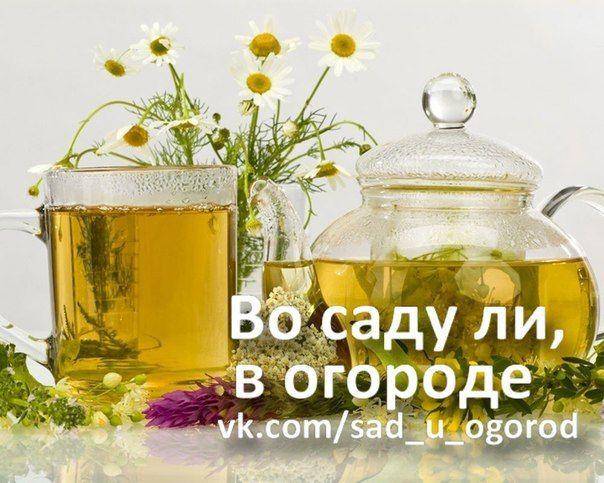 Польза трав и целебные травяные напитки   Дачный сад и огород