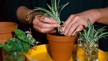 Ableger einer Grünlilie im Topf und Wasserglas