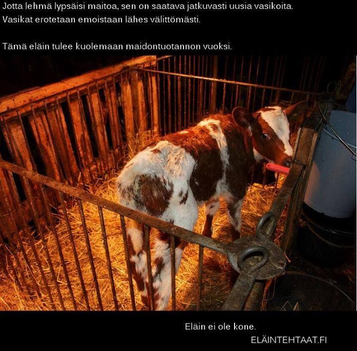 Maidontuotanto tarkoittaa yksinäisiä vasikoita, surevia lehmiä, toisten eläinyksilöiden hyväksikäyttöä ja tappamista. Asioiden ei tarvitsisi olla näin, ihmisen hyvinvointi ei ole kiinni toisen nisäkäslajin äidinmaidosta.   Maitotuotteet voi helposti korvata kasvisperäisillä vaihtoehdoilla. Täältä löydät listan eläinystävällisistä maidoista, kermoista, jogurteista, juustoista ja jäätelöistä: www.vegaanituotteet.net/perusruuat/kasvimaitotuotteet  Kuva: Honkajoki 2014