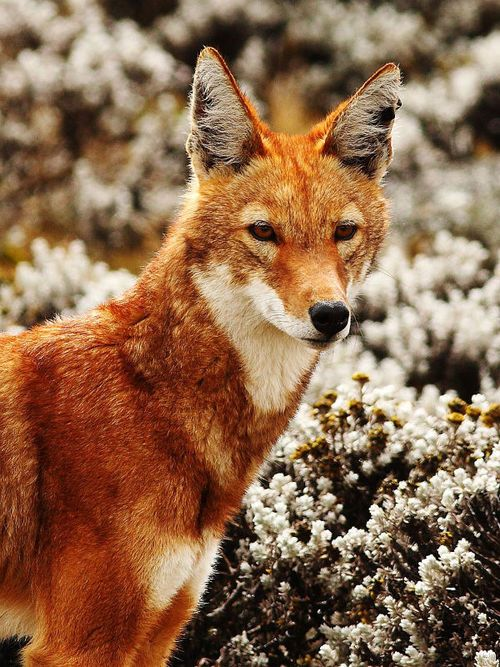 The endangered Ethiopian wolf (Canis simensis)