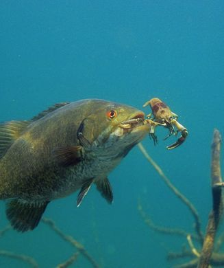 17 best images about florida fish on pinterest fishing for What fish eat