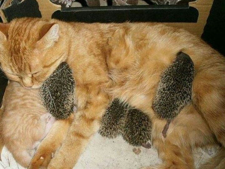 Cat mum hedgehogs
