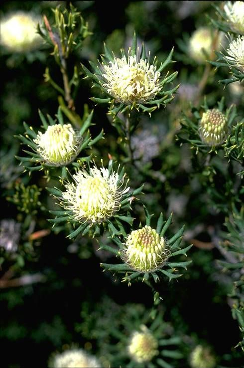 Banksia carlinoides, commonly known as Pink Dryandra, is a shrub endemic to Western Australia. It was known as Dryandra carlinoides until 2007, when all Dryandra species were transferred to Banksia by Austin Mast and Kevin Thiele