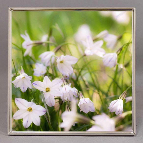 「ハナニラでしょうか、小さな白い花が群生していました。いつものように地面にへばりつくようにして撮影。小花を撮るときはやはり花目線まで下りて撮るのが楽しい。(&...|ハンドメイド、手作り、手仕事品の通販・販売・購入ならCreema。