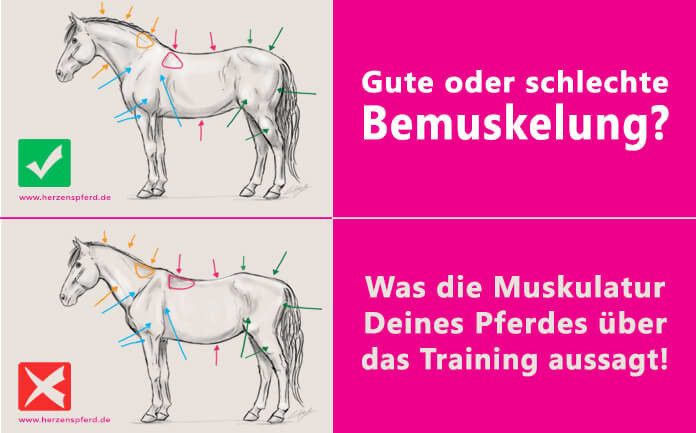Bemuskelung Pferd Training