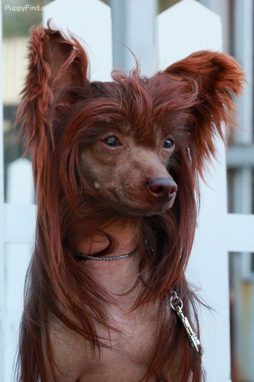 This Chinese Crested is unusual.  The color is a beautiful reddish brown!  Never saw another one with this color.