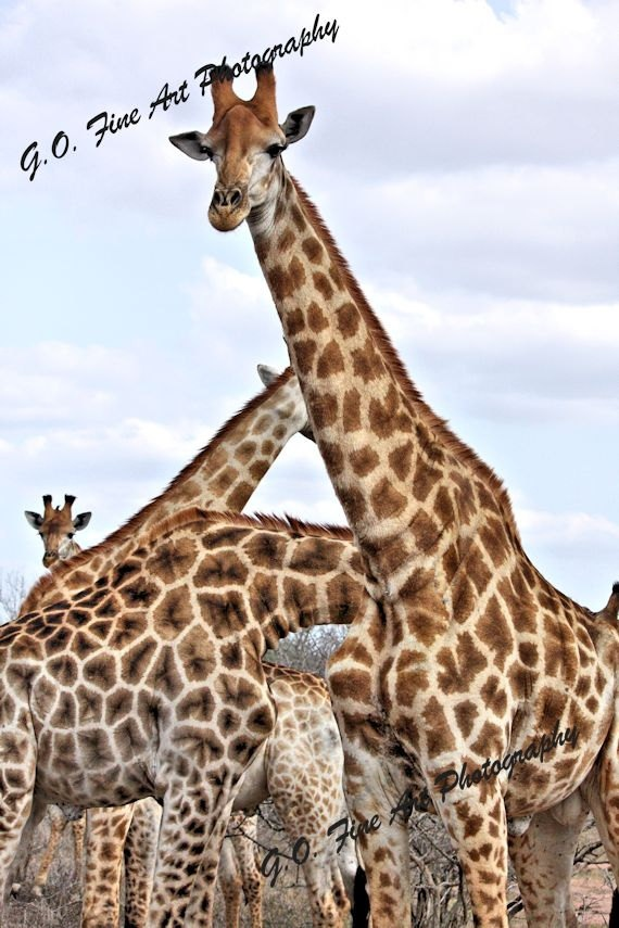 African Wildlife Giraffe Group Journey Kruger by AfricanSensations, $26.00