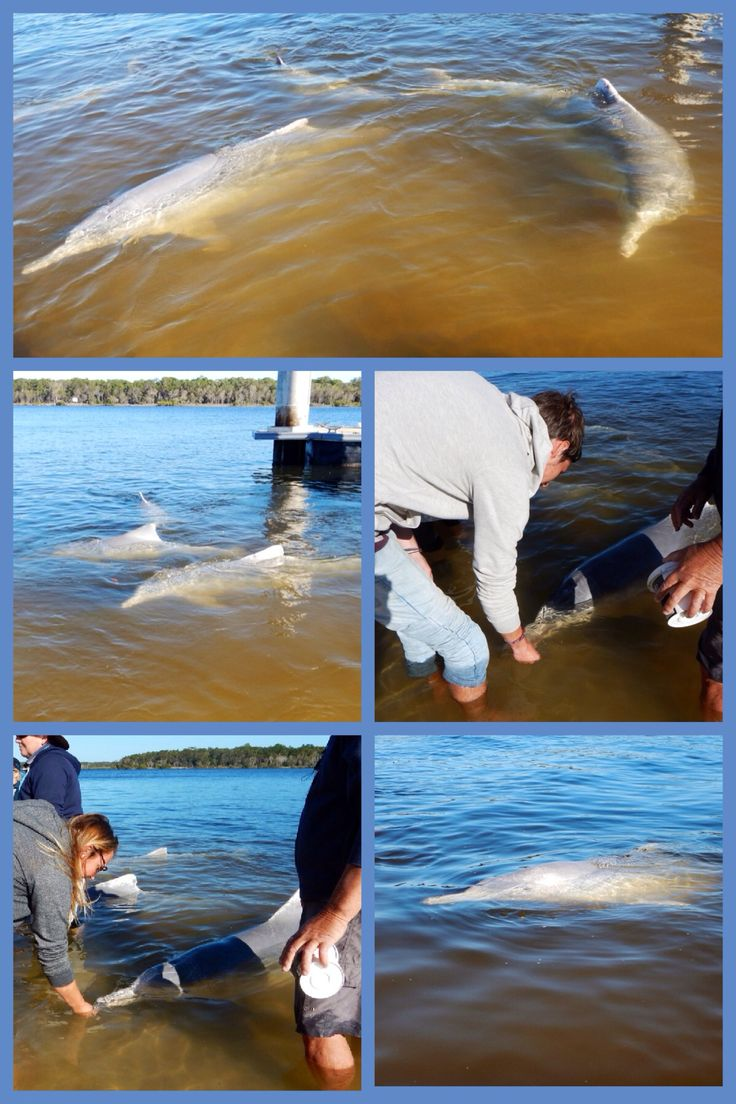 Feeding wild dolphins at Tin Can Bay ~Australia.