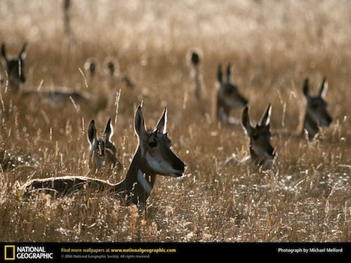 Image result for antelope