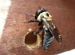 How to Get Rid of Carpenter Bees-It's very easy to do yourself, and it 100% works! I have used this to get rid of Carpenter bees my whole life. You will need a can of WD40 spray, the one with the long sprayer tip at the end works best.  Spray the WD40 into each bee hole. Spray a pretty good amount, and the bees will fall out and die. This will keep the bees gone all year long.
