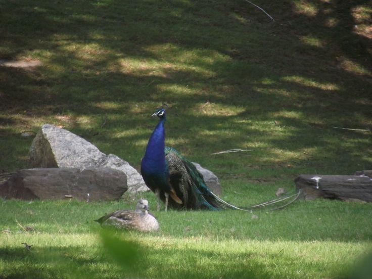 Pavone nello zoo del Bronx