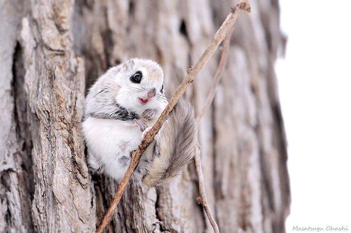 Esses animais fofos conseguem planar no ar. Olha só!