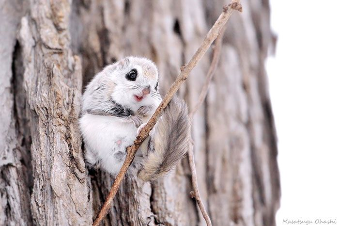 siberian japanese dwarf flying squirrel #adorable
