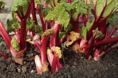 Forcing Rhubarb In Winter – How To Get Early Rhubarb Plants