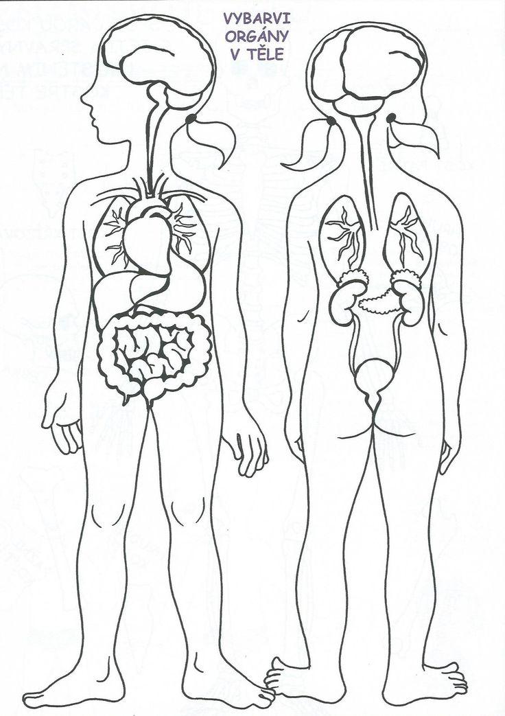 orgány v těle