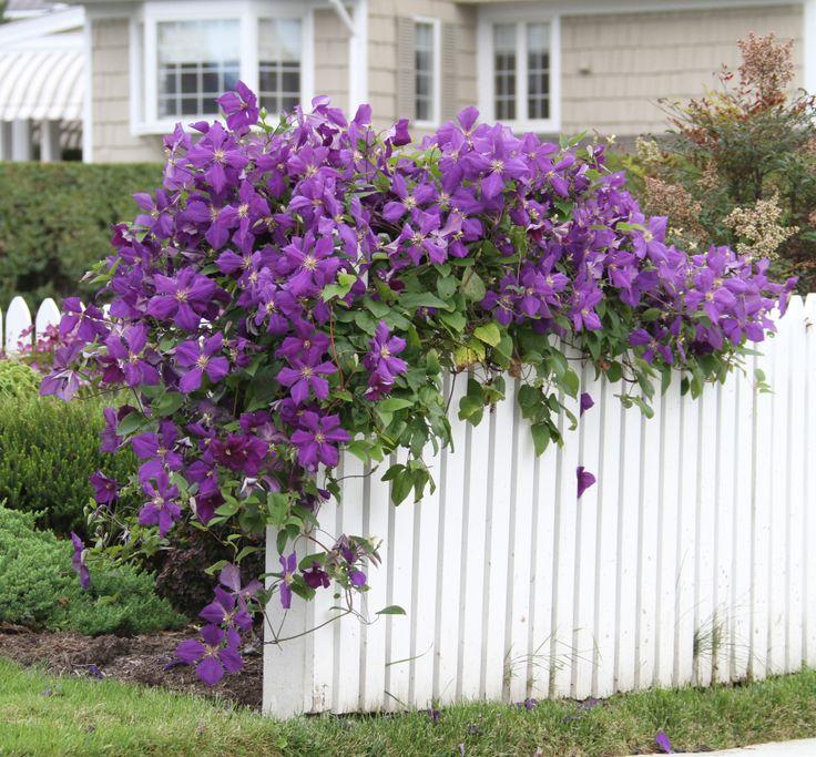 Clematis Jackmanii - pretty purple flowers on climbing vines.