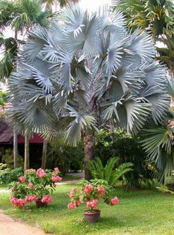 Silver Bismarck Palm - Bismarckia nobilis - Palms For Sale - Florida