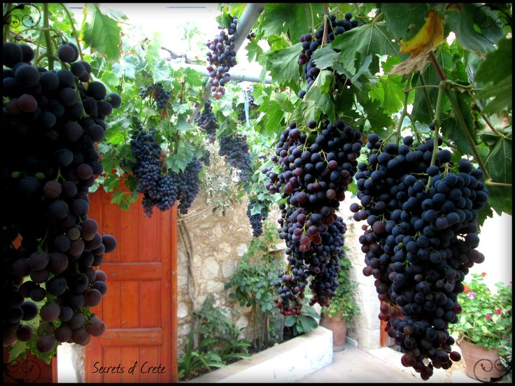 Vineyard in the village of Margarites, Crete in September