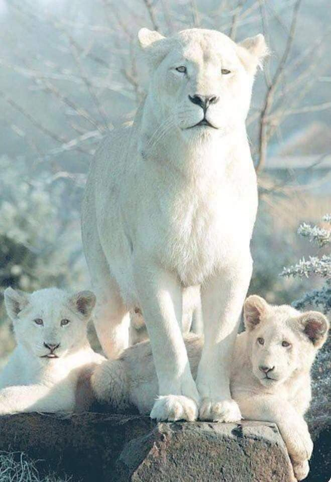 Leona Albina Y Sus Bebes Deadly Animals Albino Animals Animals Wild
