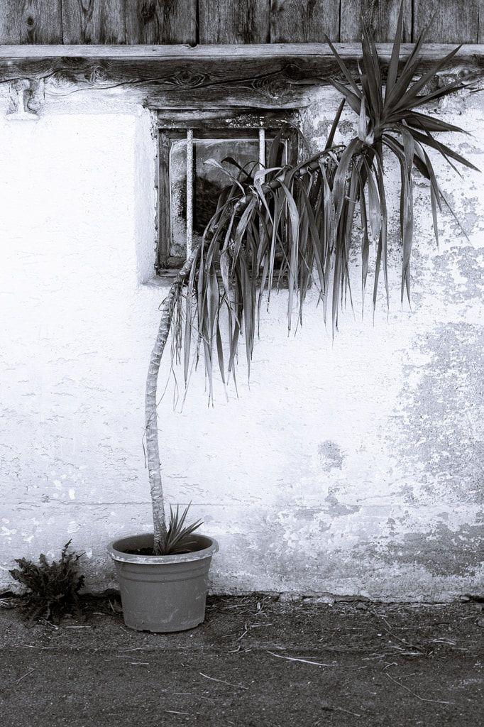 BWSTOCK.PHOTOGRAPHY  //  #Dracena #palm