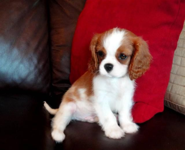 Cavalier King Charles Spaniel ...........click here to find out more http://googydog.com