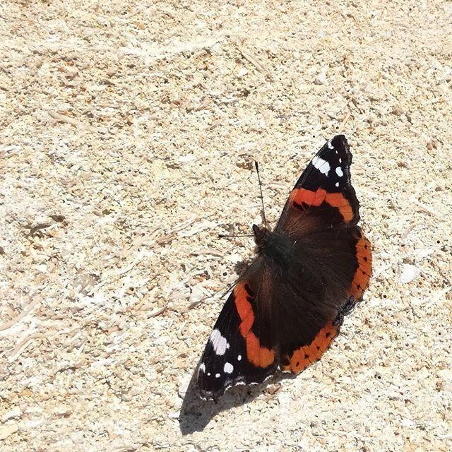 Croiser le chemin d'un Vulcain au mois de février ? Ce n'est pas le printemps qui est en avance ce papillon est une des rares espèces passant l'hiver sous sa forme d'imago ( nom du papillon adulte). Il n'est donc pas rare d'en voir un voltiger quand un petit soleil pointe son nez --> with #Honor5c  and #pixtertelephoto   #instagood #photooftheday #beautiful #cute #instadaily #art #nature #beauty #flowers #forthebrave #landscape #smartphone #naturelovers #tree #plants #flowersagram #bloom…