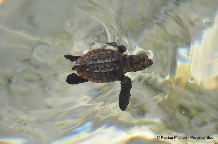 Little turtle in New Caledonia