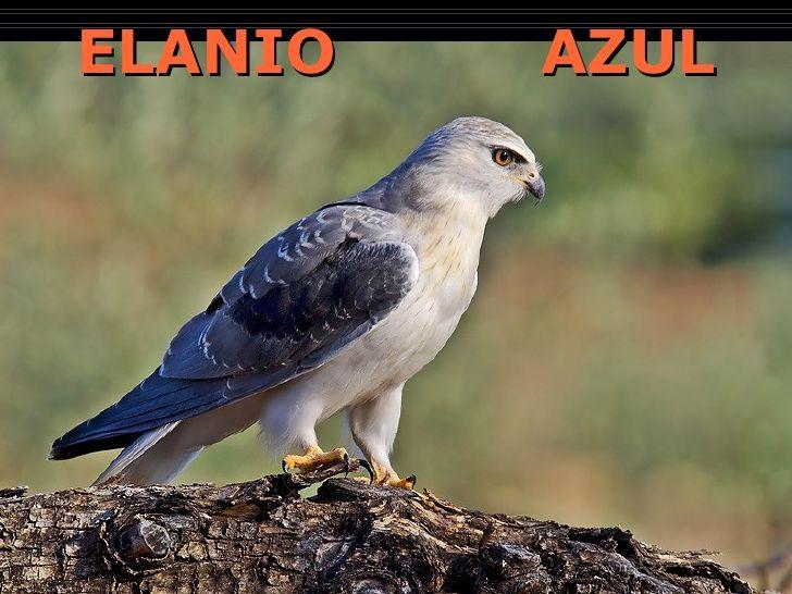 ELANIO  AZUL