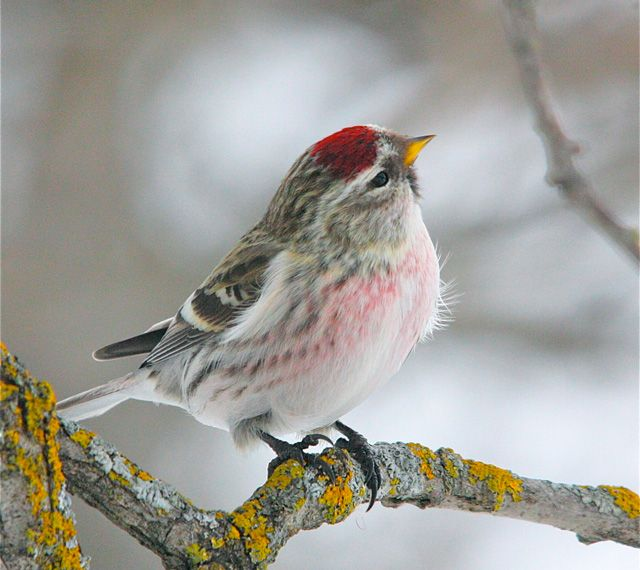 Common Redpoll - (Uncommonly pretty!)