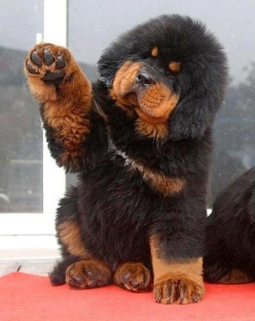 Tibetan mastiff...it's like a rottie and a teddy bear combined! I want one!