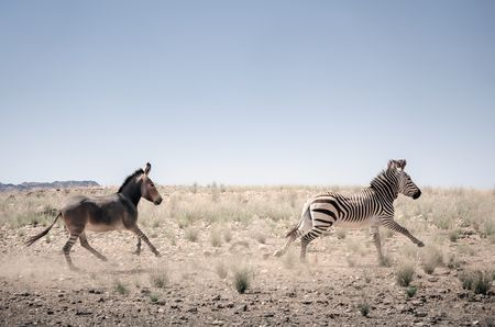 Transition from zebra to donkey. Photo by Kostadin Luchansky -- National Geographic Your Shot