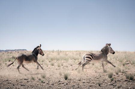 Transition from zebra to donkey. Photo by Kostadin Luchansky -- National Geographic Your Shot