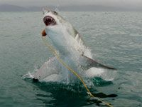 Great White Shark Diving South Africa