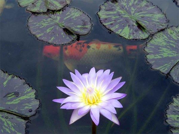 130 best images about feng shui on pinterest feng shui for Garden pond life