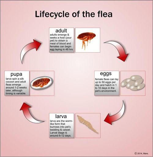 fleas - Google Search