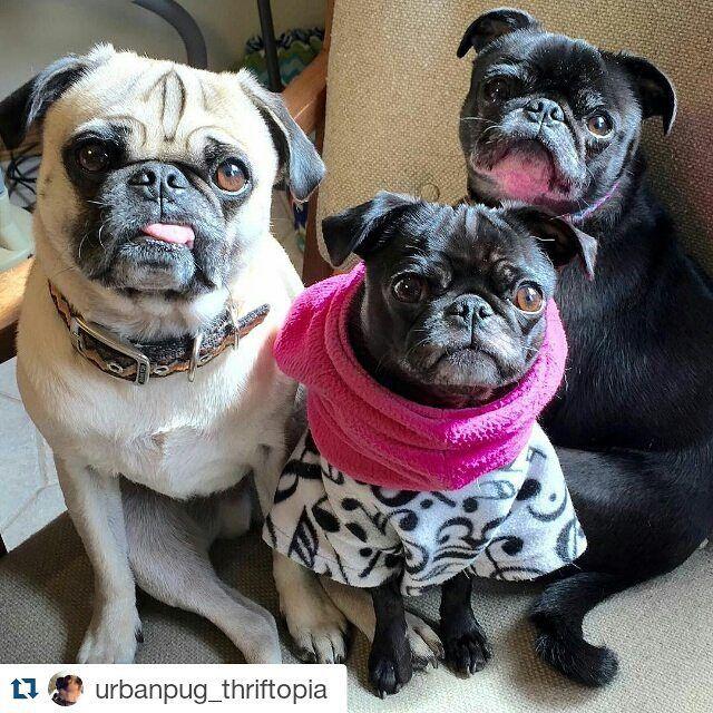 #Repost @urbanpug_thriftopia with Repost App  Happy National Pug Day!  #pugsofinstagram #pugsrule #nationalpugday2015 #pug #puglife #pugstagram #froodieshoodies