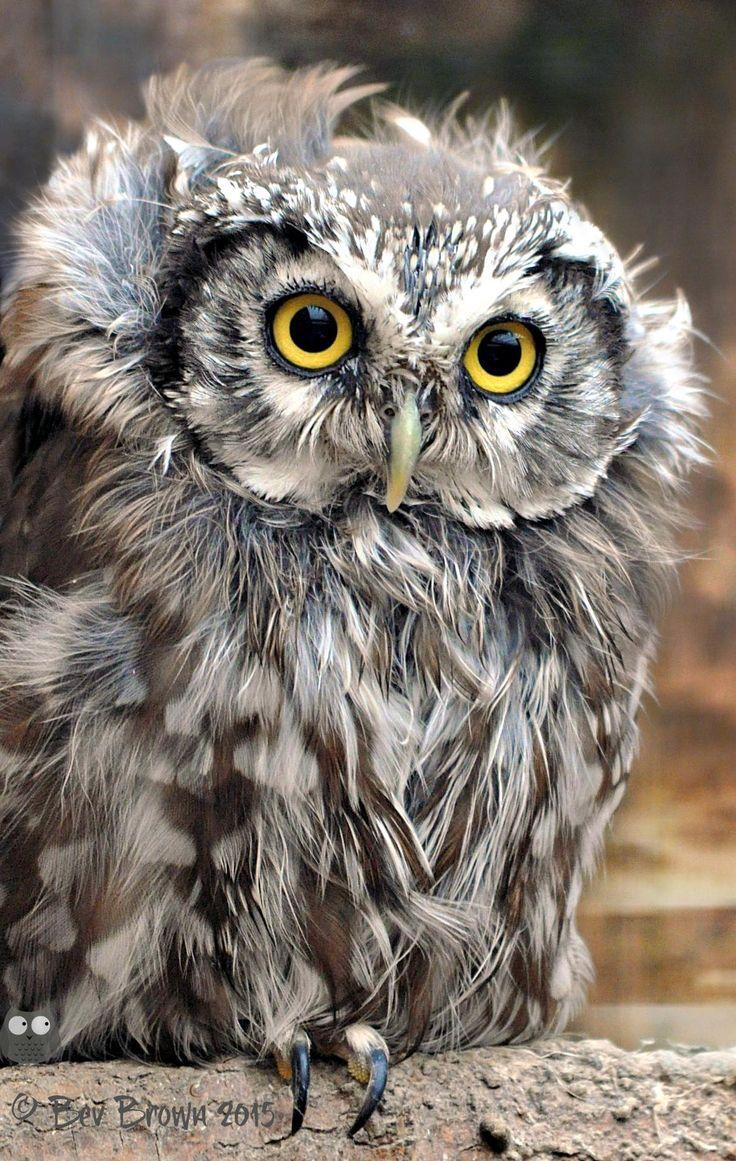A Baby Tengmalms Owl by Bev Brown