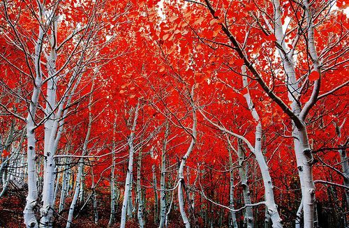 fall and birch trees