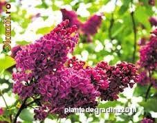 Imagini pentru soiuri de liliac de gradina