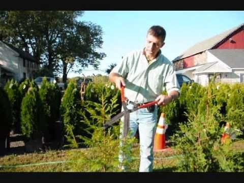 Green Giant Arborvitae Pruning - YouTube