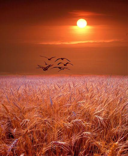 Coucher de soleil sur champ de blé: