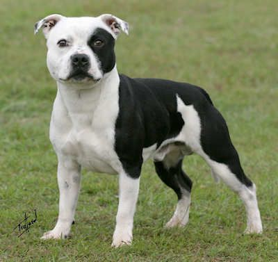 Black And Tan Staffordshire Bull Terrier | Aust Champion Taino Painted Chief
