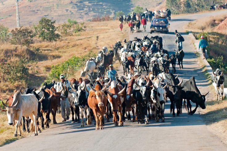 Les convoyeurs de zébu sur la route nationale 7