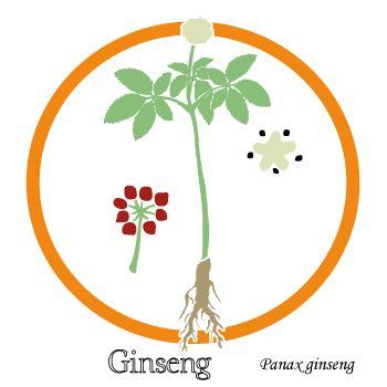 Ginseng - stimulant de l'organisme - uptimoi - Dessin de la plante entière, des fruits et de la fleur.