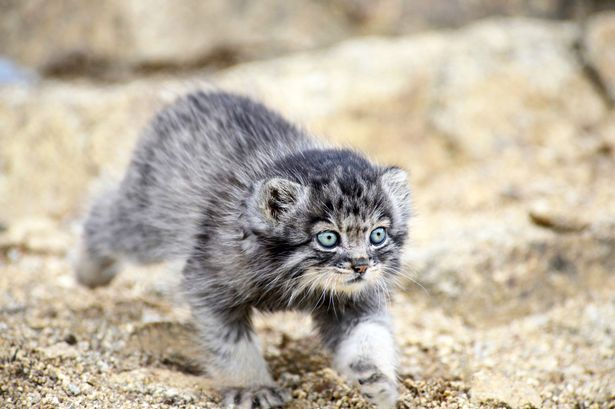 World S Fluffiest And Angriest Kitten Becomes Star After Being Abandoned By Mum Small Wild Cats Cats Pallas S Cat